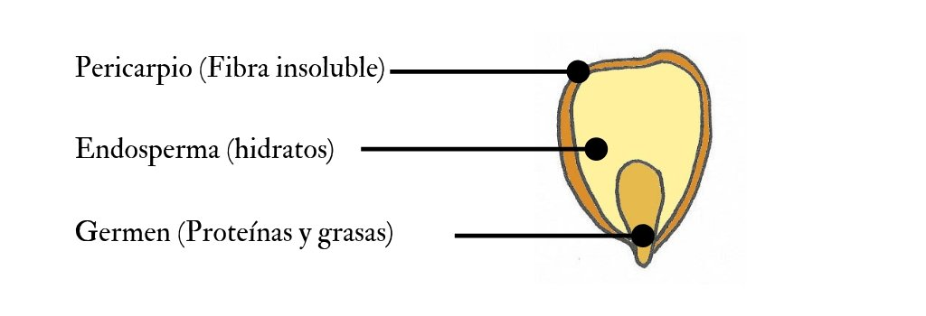 Partes del grano de maíz